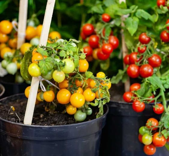 easy to grow vegetable