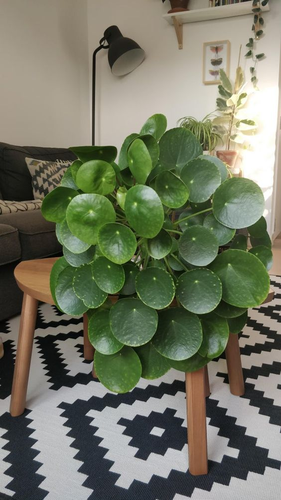 Chinese money plant for indoor houseplants'