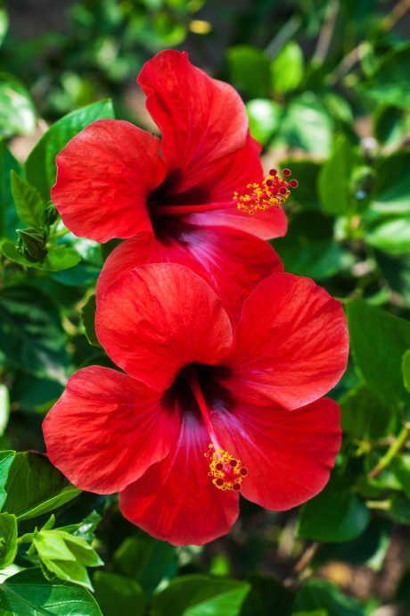 hibiscus for tropic garden