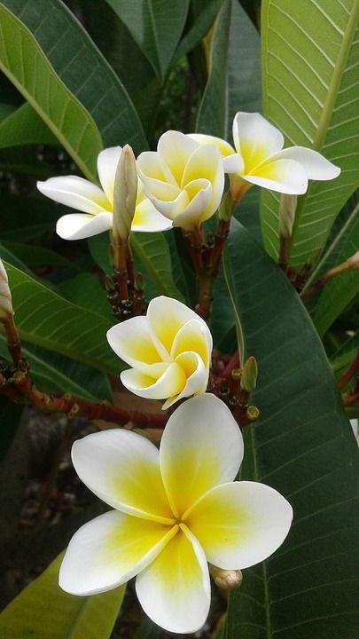 frangipani flower for Balinese garden