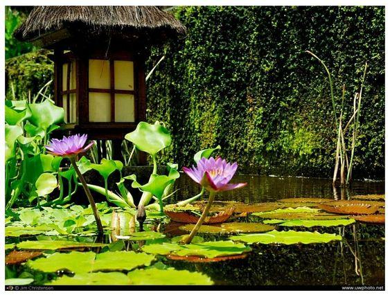 Beautiful lotus in Balinese garden