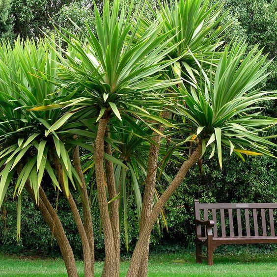 Cordyline australis is essential plant in Balinese garden