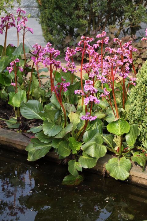 bergenia that stands all year round