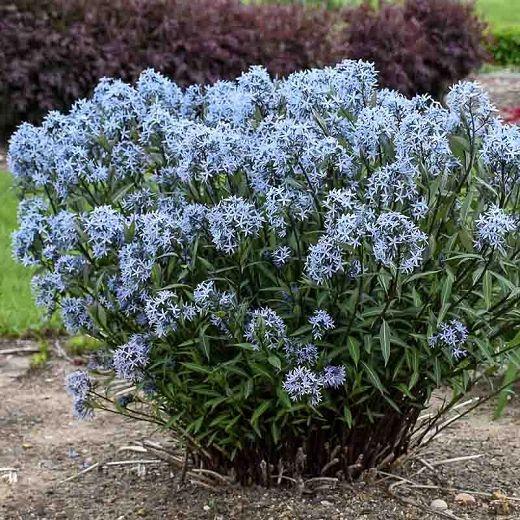 blue star for all year round garden