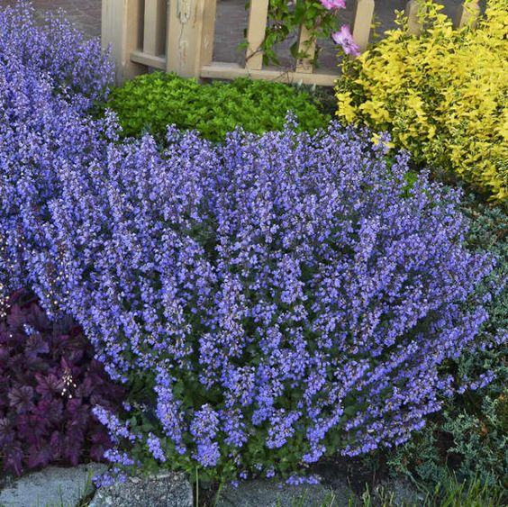 catmint perennial to decorate garden space
