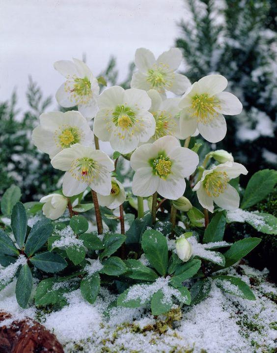 easy take care plant Christmas rose