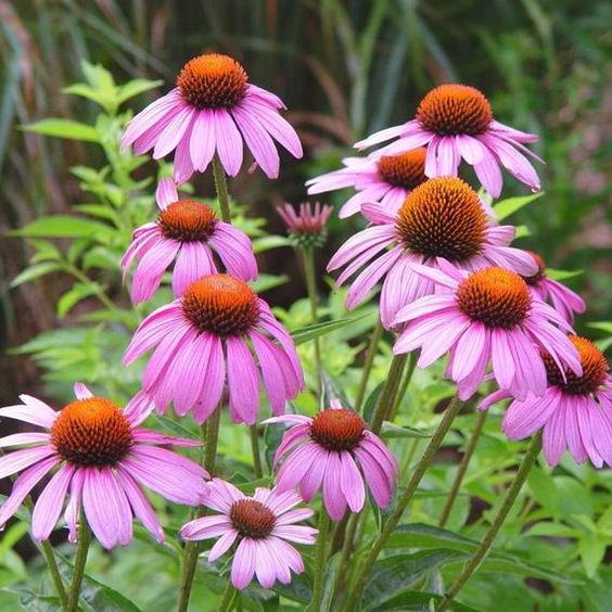 cone flower for backyard decorating ideas