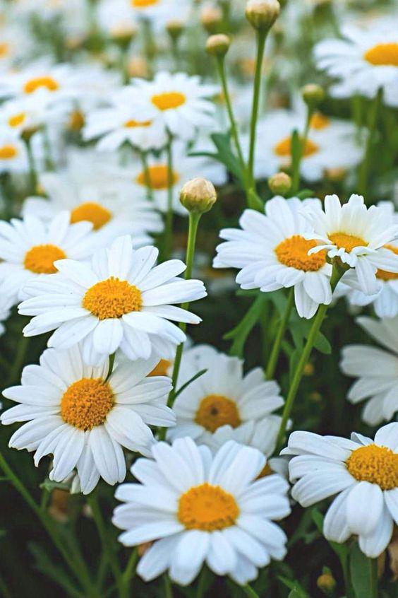 daisy for backyard garden