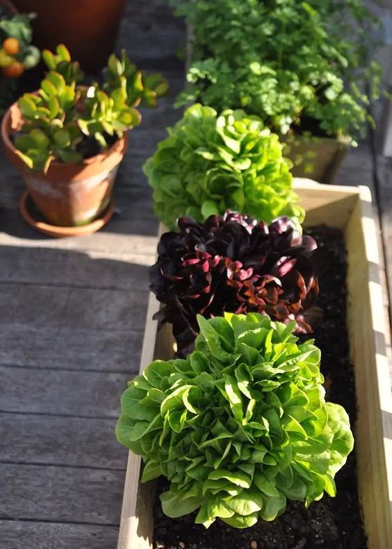 lettuce is easy to grow vegetable