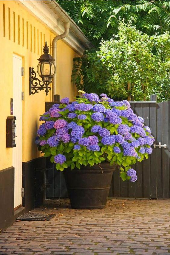 hydrangeas for blooming garden