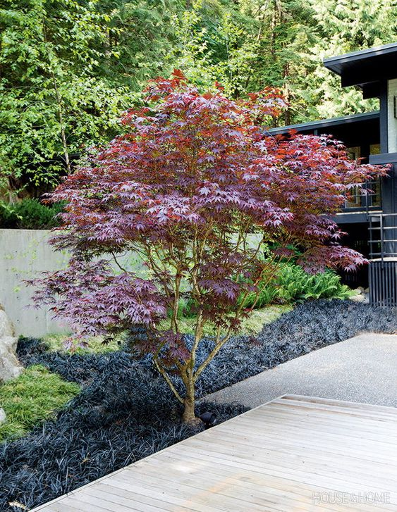 Japanese maple for enchanting backyard