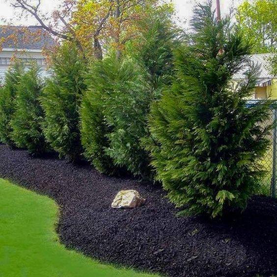 leyland cypress tree to decorate backyard landscaping