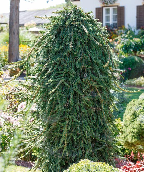 Norway spruce for evergreen garden all year round