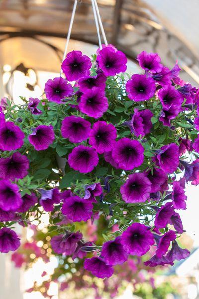 annual flower petunia