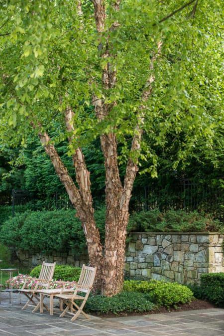 river birch for backyard