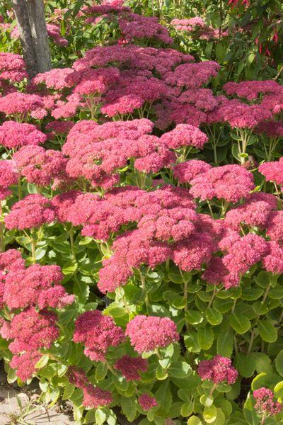 sedum for a colorful garden