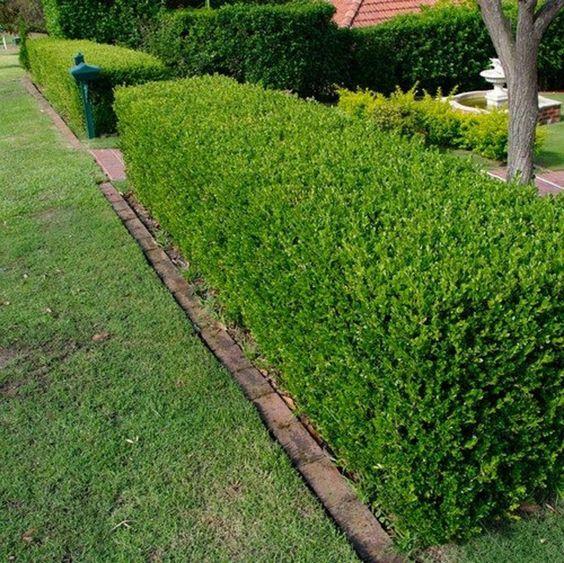 Shrubs for hedges garden landscaping ideas