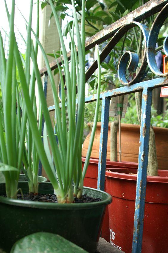 growing spring onion in backyard