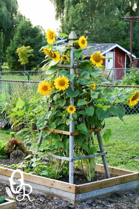 sunflower in backyard