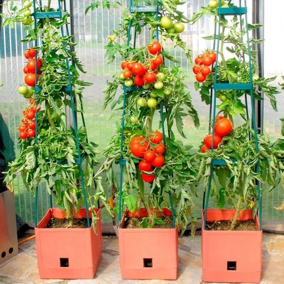 grow tomato in the garden