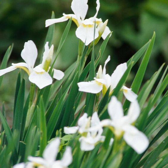 Siberian iris for low maintenance garden