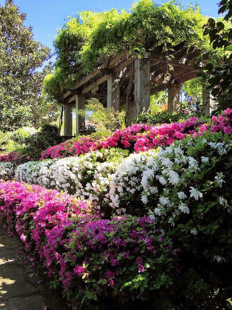 beautiful azalea for landscaping