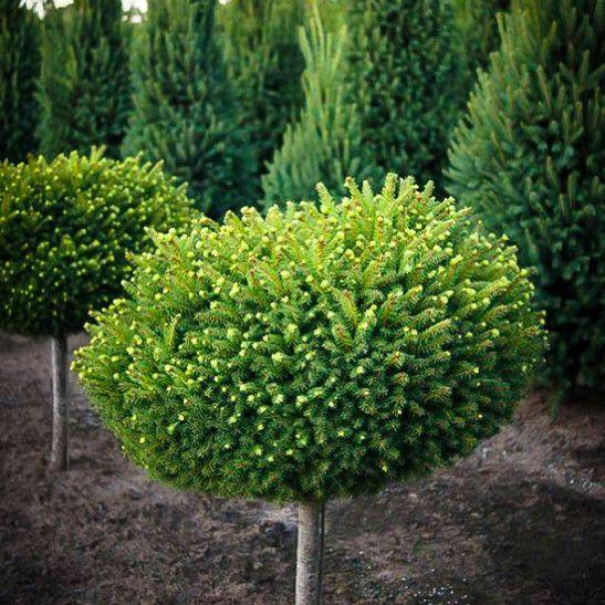 Norway spruce in Scandinavian garden