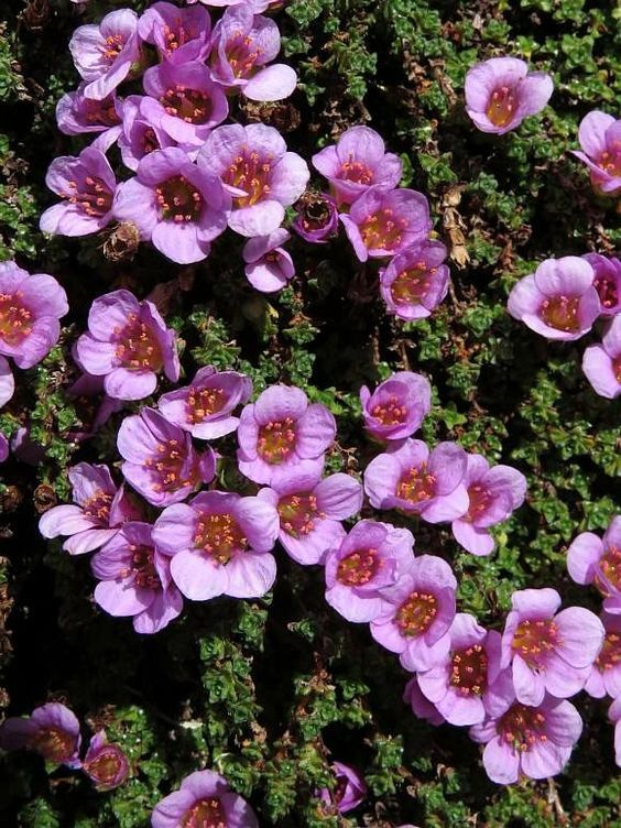 purple saxifrage in Scandinavian landscaping