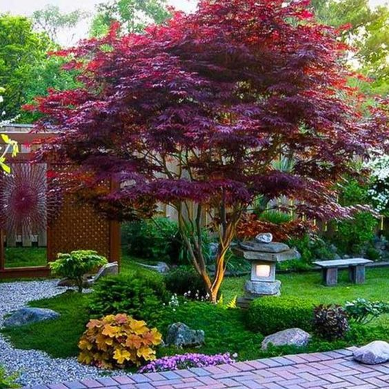 Japanese maple tree give the color to Japanese garden