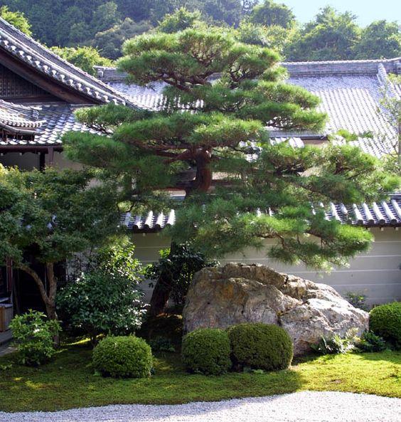 Japanese pine evergreen garden aesthetic