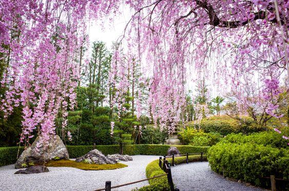 Beautiful cherry trees in Japanese garden