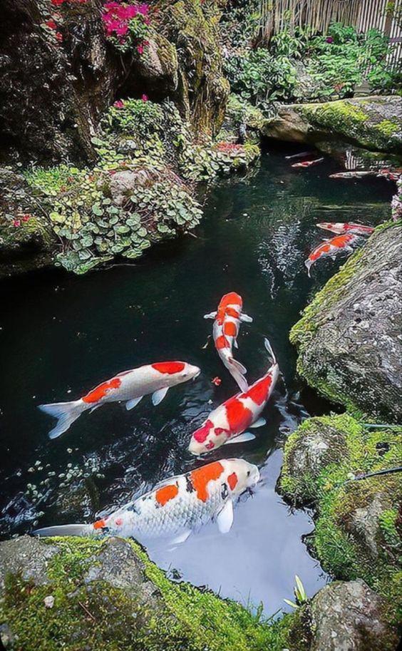 koi fish Japanese garden aesthetic
