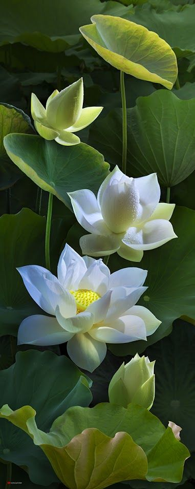 lotus in Japanese garden